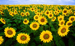 photo of a field of sunflowers
